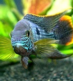 breeding cichlid fish